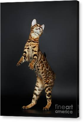 Playful Female Bengal Cat Stands On Rear Legs Canvas Print by Sergey Taran