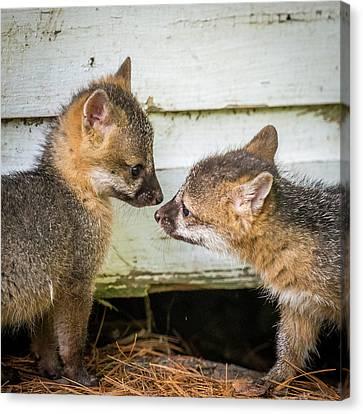 Fox Kit Canvas Print - Playful Fox Kits  by Paul Freidlund
