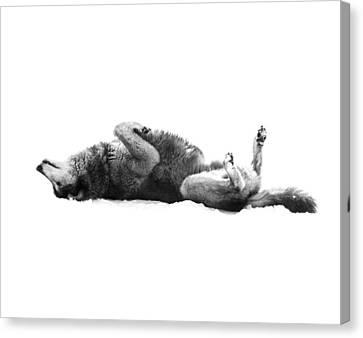 Playful Gray Wolf Photo Canvas Print