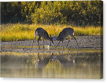Playful Young Bucks Canvas Print by Mark Kiver