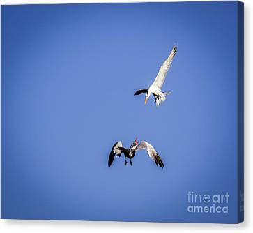 Playing Terns Canvas Print