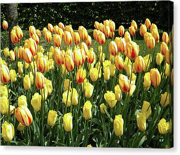Canvas Print featuring the photograph Plenty Of Tulips by Manuela Constantin