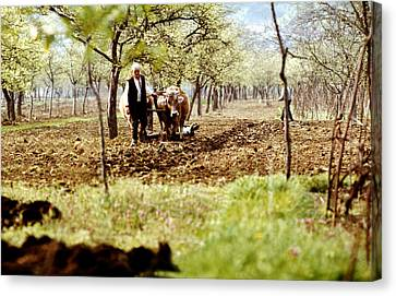 Ploughing In The Orchard Canvas Print