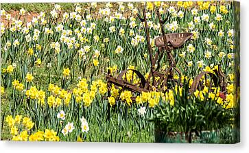 Plow In Field Of Daffodils Canvas Print