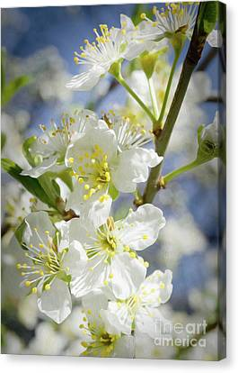 Plum Blossoms 6 Canvas Print by Mellissa Ray