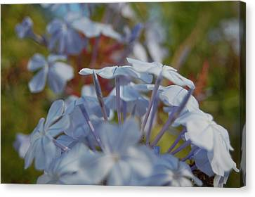 Plumbago Puffs Canvas Print by Jean Booth