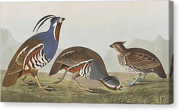Plumed Partridge Canvas Print