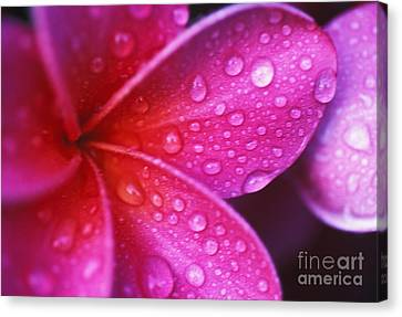 Plumeria Blossom Canvas Print by Ron Dahlquist - Printscapes