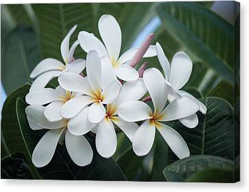 Plumeria Bouquet Canvas Print by Bonita Hensley