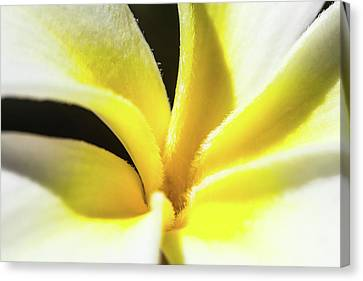Plumeria Close Up Canvas Print by Sean Davey