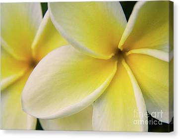 Canvas Print - Plumeria Flowers by Julia Hiebaum