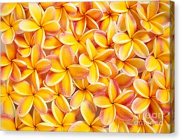 Plumeria Flowers Canvas Print by Kyle Rothenborg - Printscapes