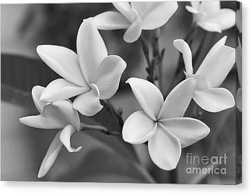 Plumeria Flowers Canvas Print by Olga Hamilton