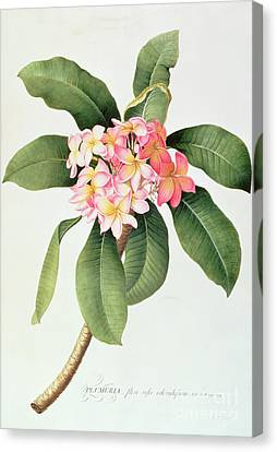 Plumeria Canvas Print by Georg Dionysius Ehret