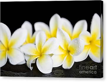 Canvas Print featuring the photograph Plumeria Obtusa Singapore White by Sharon Mau