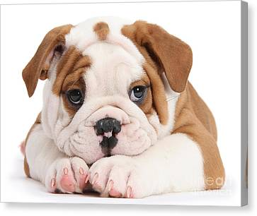 Po-faced Bulldog Canvas Print