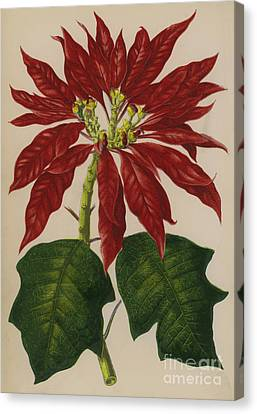 Poinsettia Canvas Print by English School