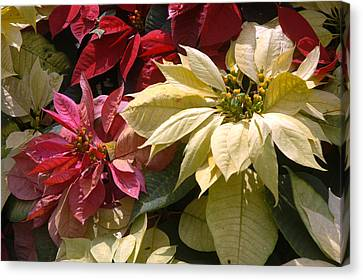 Poinsettias At Doi Tung Palace Canvas Print by Anne Keiser