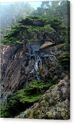 Cypress Canvas Print - Point Lobos Veteran Cypress Tree by Charlene Mitchell