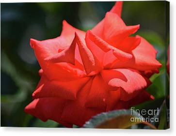 Pointed Petal Rose Canvas Print by Ruth Housley