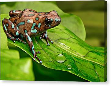 poison art frog Panama Canvas Print by Dirk Ercken