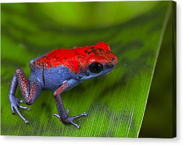 poison dart frog Escudo Canvas Print by Dirk Ercken