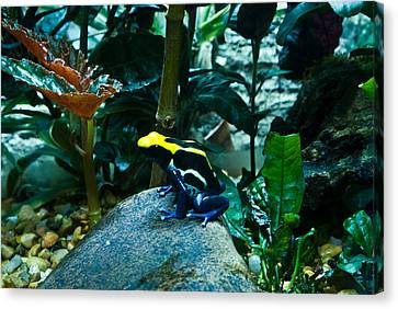 Poison Dart Frog Poised For Leap Canvas Print by Douglas Barnett