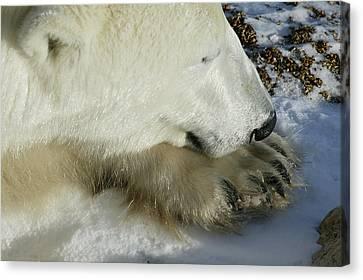 Polar Bear Close Up Canvas Print
