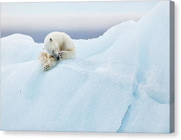 Polar Bear Grooming Canvas Print by Joan Gil Raga