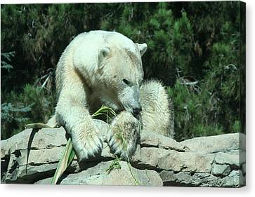 Polar Bear Canvas Print by Randy Morehouse