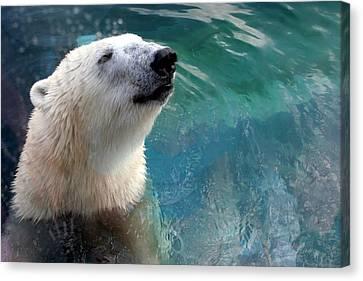 Polar Bear Up Close Canvas Print by Laurel Talabere