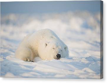 Polar Bear  Ursus Maritimus , Young Canvas Print by Steven Kazlowski