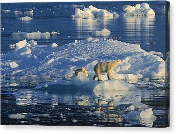 Polar Bear Ursus Maritimus Adult Canvas Print by Rinie Van Meurs