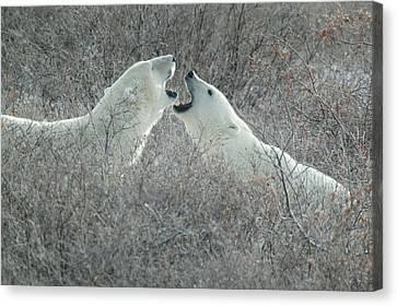 Polar Bears Jawing Canvas Print