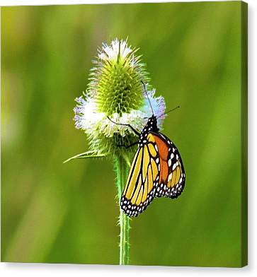 Polka Dotted Butterfly Canvas Print