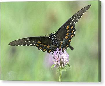 Canvas Print featuring the photograph Pollinating #2 by Wade Aiken