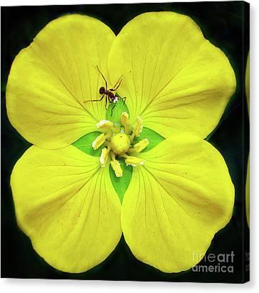 Artistic Canvas Print - Pollination.. by Prar Kulasekara