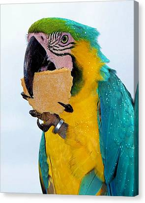 Polly Wanna Cracker Canvas Print