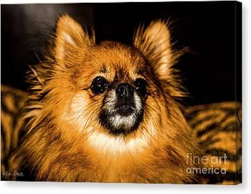 Pomeranian Chihuahua Mix #1 Canvas Print by Julian Starks