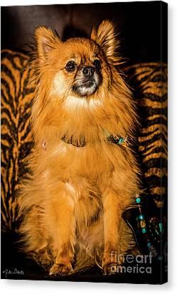 Pomeranian Chihuahua Mix #2 Canvas Print by Julian Starks