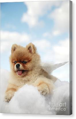 Pomeranian On Clouds Canvas Print by Brandon Tabiolo - Printscapes