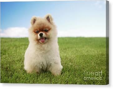 Pomeranian Puppy On Grass Canvas Print by Brandon Tabiolo - Printscapes