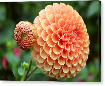 Canvas Print featuring the photograph Pompom by Margaret Hormann Bfa