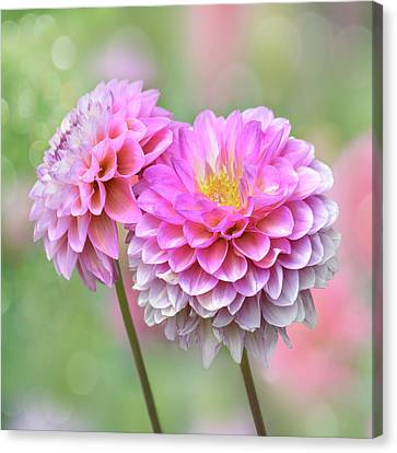Canvas Print featuring the photograph Pompon Dahlias by John Poon