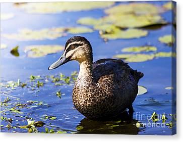 Pond Duck Canvas Print
