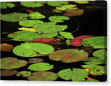 Pond Pads Canvas Print by Karol Livote