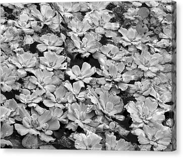 Pond Plants Canvas Print by Juergen Roth