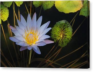 Pond Star Canvas Print by Robert Anschutz