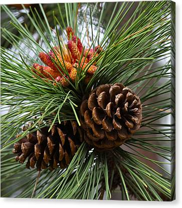 Ponderosa Pine Cones Canvas Print by Karon Melillo DeVega