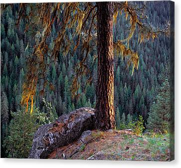 Ponderosa Pine Canvas Print by Leland D Howard